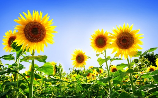 sunflower fields desktop wallpaper