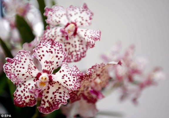 Vanda William Catherine Orchid, Prince William and Princess Kate orchid