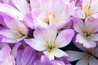 Autumn crocuses, naked ladies, colchicum