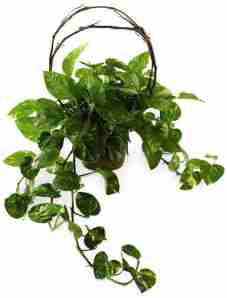 hanging vine planter from Grower Direct