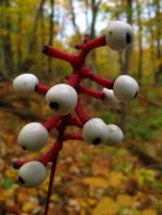 doll's eye, Actaea pachypoda