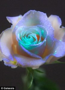 galassia rose, glow in the dark rose