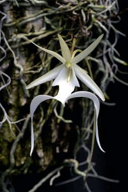 ghost orchid, dendrophylax lindenii