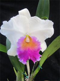 Hillary Clinton orchid