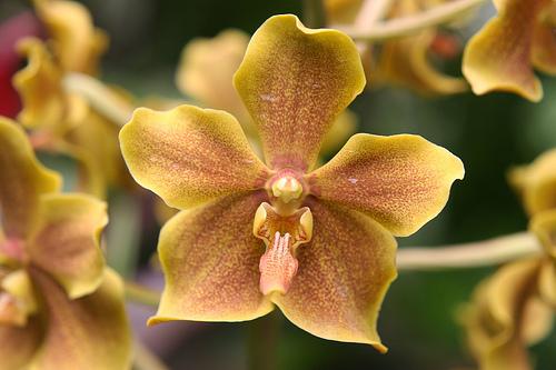 nelson mandela orchid