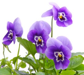 Fun Flower Facts Pansy Grower Direct Fresh Cut Flowers Presents