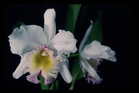 queen elizabeth orchid
