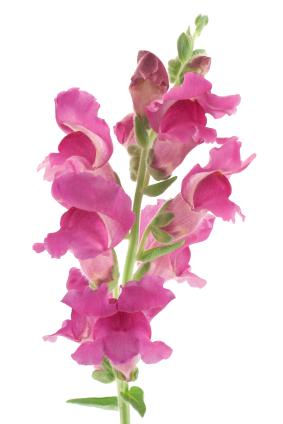 Fun Flower Facts Snapdragon Antirrhinum Grower Direct
