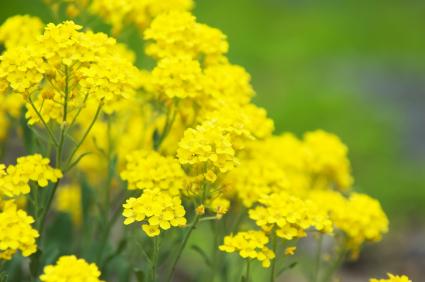 yellow tuft alyssum