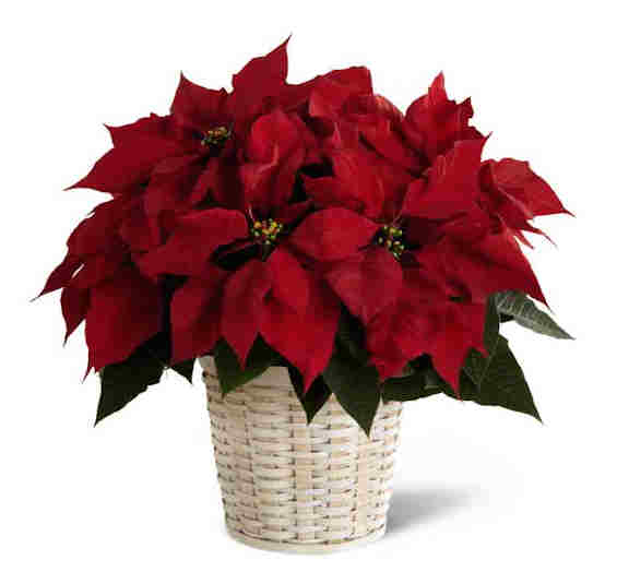 red poinsettia potted plant from Grower Direct Fresh Cut Flowers