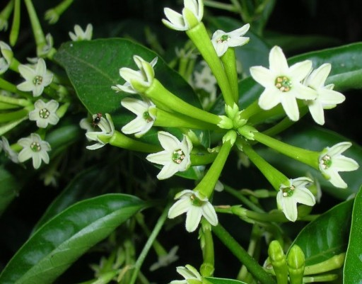 Cestrum Nocturnum, lady of the night, dama de noche