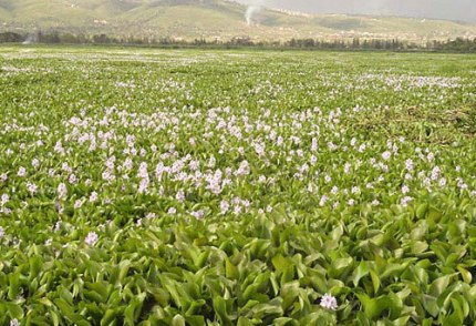 invasive water hyacinth invades Africa's Lake Victoria