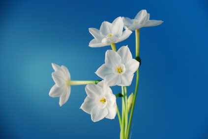 Paperwhite narcissus grower direct fresh cut flowers presents paperwhite narcissus mightylinksfo
