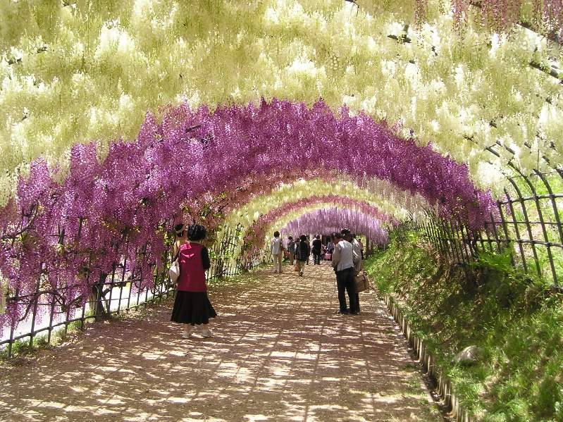 Cool Places To See Flowers The Wisteria Tunnel In Japan Grower