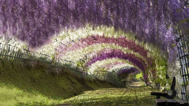 Wisteria Tunnel at the Kawachi Fuji Gardens in Japan