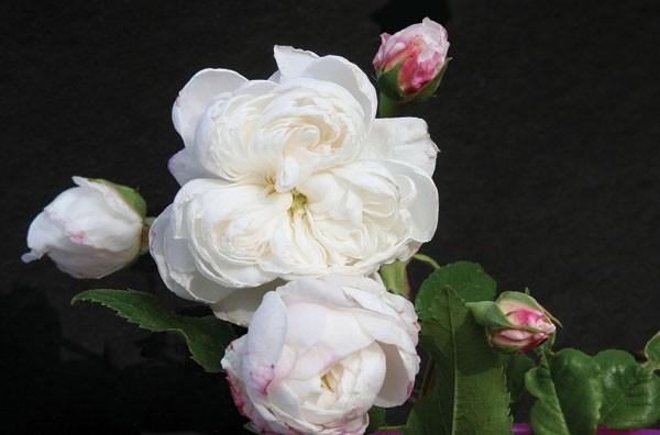 aimee_vibert antique rose