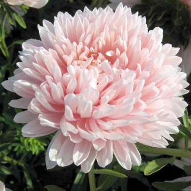 2013 New Flower Varieties: Aster Lady Penelope