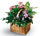Planter with azalea, kalanchoe