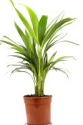 cast iron plant; aspidistra elatior
