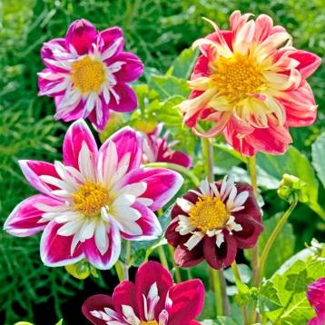 New Flower Varieties 2013 Dahlia Yankee Doodle Dandy