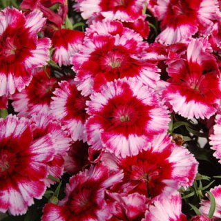 new flower varieties dianthus diana