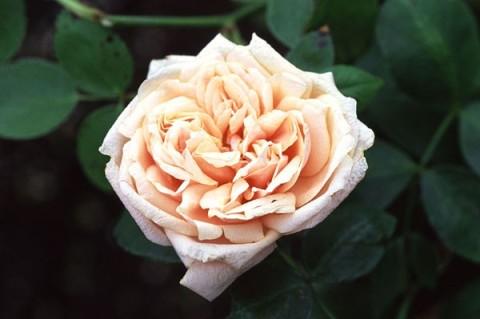 gloire-de-dijon antique rose