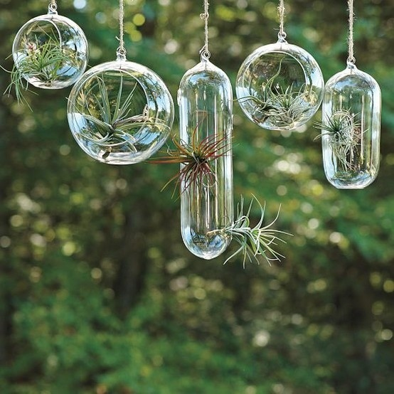 Hanging Air Plants in glass orbs