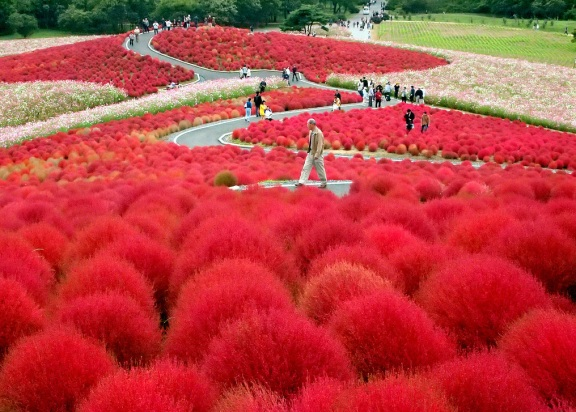Red kochia at the Hitachi Seaside Park in Japan
