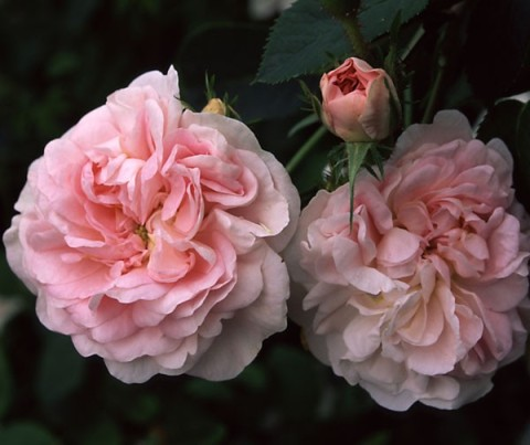 maidens blush antique rose