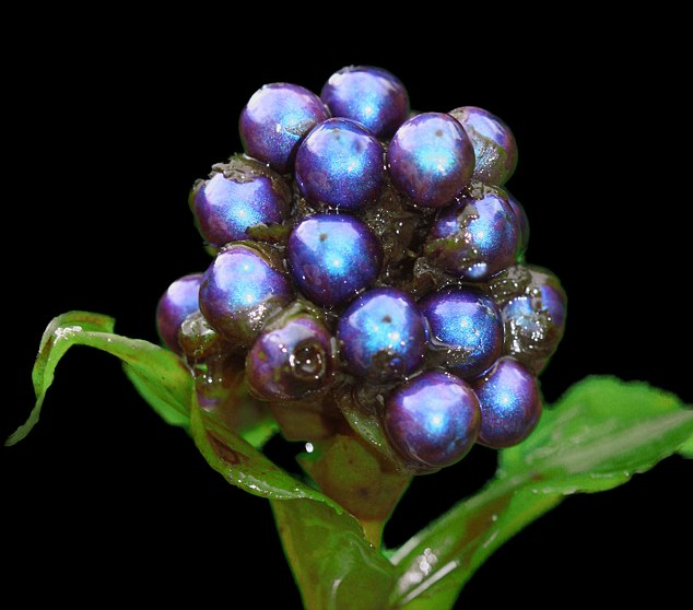 World's Shiniest Plant, pollia condensata; marble berry