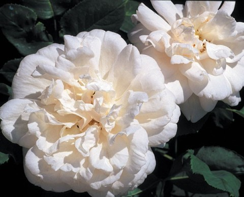 mme alfred carriere antique rose