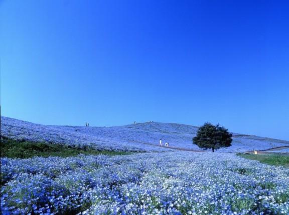 field of blue nemophilia flowers at the Hitachi Seaside Park in Japan