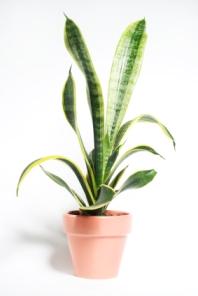 snake plant; houseplant sansevieria trifasciata