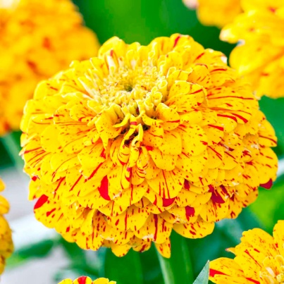 New 2013 Flower Varieties: zinnia art gold and red