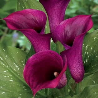 new flower variety 2013; calla lily- captain prado