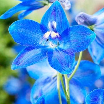 New 2013 flower: delphinium, plagu blue