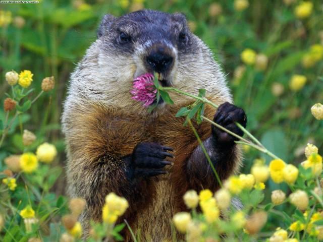 groundhog; woodchuck