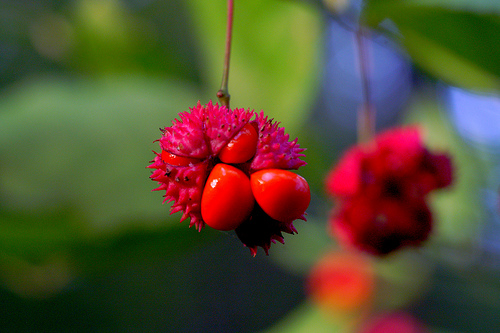 Strawberry bust, bursting hearts (Euonymus americanus)