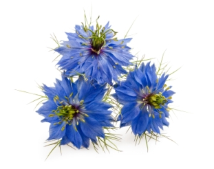 Love-in-a-Mist (nigella damascena) flowers