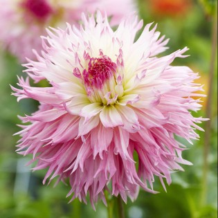 dahlia- nadia ruth; new flower variety for 2013