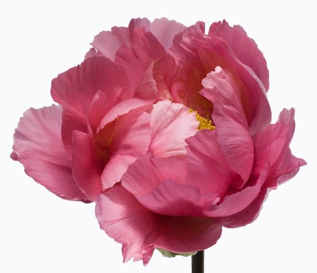 Big Blooms floral portraits by Paul Lange