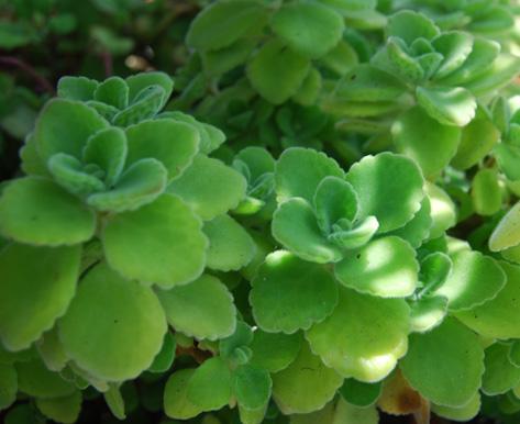 Plectranthus tomentosa; vick's vapo-rub plant