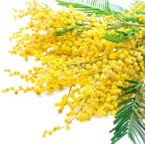 acacia (mimosa, wattle)