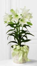 Easter Lily plant from Grower Direct Fresh Cut Flowers