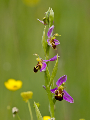 Bee Orchid, the orchid that looks like a bee