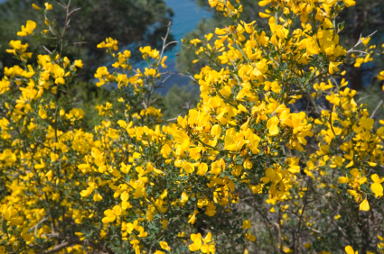 Genista or broom plant