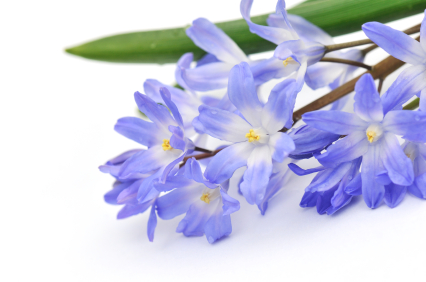 Chionodoxa; glory in the snow