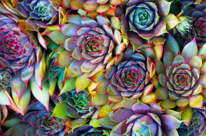 sempervivum (hens and chicks succulent plant)