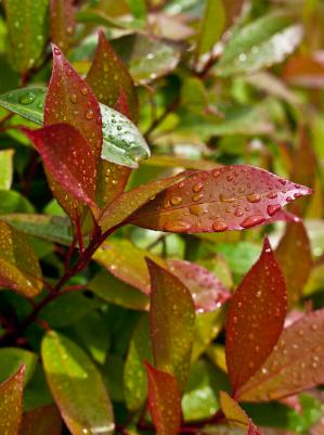 Photinia shrub