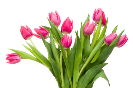 tulip crafts grower direct fresh cut flowers presents